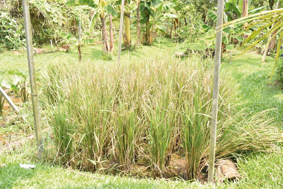 シンガポールで初めて 田んぼを発見! 写っていませんが、 新潟出身のぽんは大興奮!